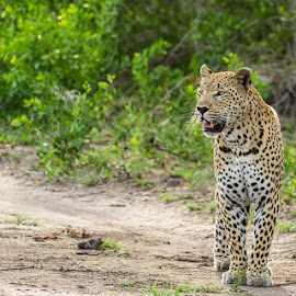 Maxabeni male on hunt by Marcus Hack - Animals Lions, Tigers & Big Cats ( #leopard #sabisands #catsofsa #ingwe #maxabeni )