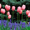 Pink Tulips and Ajuga Flowers.jpg