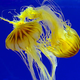 Fairy Dancers                            by Marilyn Kircus - Animals Sea Creatures ( marine, marine animals, sea creatures, blue, yellow, jellyfish,  )
