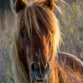 Wild Pony by Kevin Frick - Animals Horses ( horse, light, wild pony, pony )