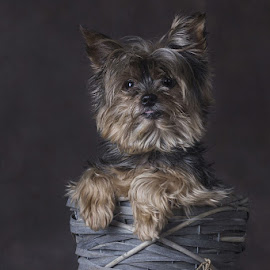 Valentine. by Anja Voorn - Animals - Dogs Portraits