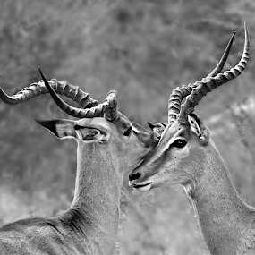 The Pair by Pieter J de Villiers - Black & White Animals ( mammals, animals, impala, pair, south africa, black & white,  )