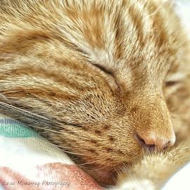 Sleeping Beauty  by Ewan McMurray - Animals - Cats Portraits ( cats, sleeping cat, pets, cat portrait, animal )