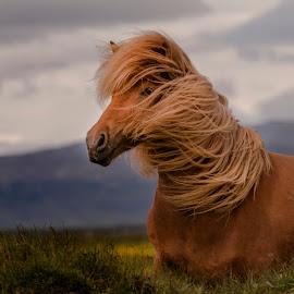 Ísold by Anna Guðmundsdóttir - Animals Horses ( mare, íslold, red, hryssa, icelandic horse, outdoor, horse, anna guðmundsdóttir, summer, animal )
