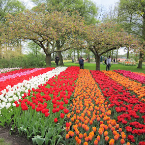 Tulips at Keukenhof by Dennis  Ng - Flowers Flower Gardens (  )