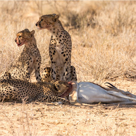 Cheetah and her cubs by Brendon Muller - Animals Lions, Tigers & Big Cats ( cheetah, photosbybrendon, kill, wildlife, africa, kgalagadi )