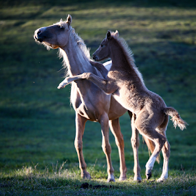 Playing with Mom by Glenys Lilley - Animals Horses ( palomino, colt, horse, arabian, evening light, rearing, foal,  )