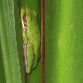 Sleeping  by Priscilla Renda McDaniel - Animals Amphibians ( palm, frog, green, sleeping, relaxing )