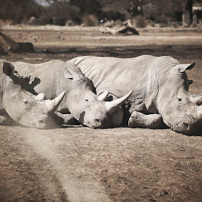 The three Rhino by Jennifer Marino - Animals Other ( wild, animals, park, wildlife, rhino )