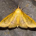 Alamo Moth