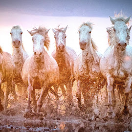 Young Mares in the Marshes by Helen Matten - Animals Horses ( galloping, muddy, mares, wild, horses, marshes, sunset, camargue, white )
