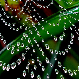 Drops on web by Asif Bora - Nature Up Close Natural Waterdrops
