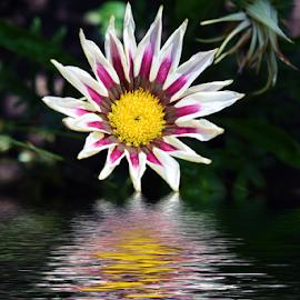 beutiful gazania by LADOCKi Elvira - Digital Art Things ( flowers, garden )