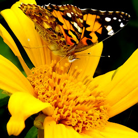Perched on mexico sun flower by Faisal Syafar - Animals Insects & Spiders