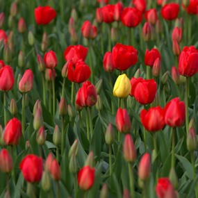 Spring Has Sprung by Bill Foreman - Flowers Flower Gardens ( skagit, red flower, tulips, spring, yellow flower,  )