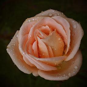 by Lazuardi Normansah - Nature Up Close Flowers - 2011-2013
