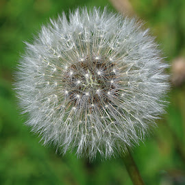 Perfect! by Chrissie Barrow - Nature Up Close Other Natural Objects ( dandelion, nature, clock, green, white, seeds, bokeh, closeup, seedhead )
