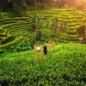 Ubud Rice Terrace Fields by Hendri Suhandi - Landscapes Prairies, Meadows & Fields ( terrace fields, bali, ubud, rice fields )