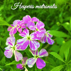 Hesperis matronalis by Virginia Howerton - Typography Captioned Photos