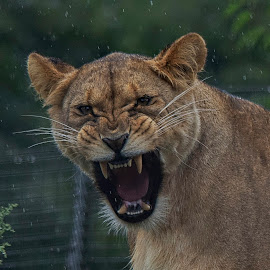 Lioness growling - close up by Fiona Etkin - Animals Lions, Tigers & Big Cats ( rain, whiskers, feline, lioness, fangs, nature, animal, teeth, big cat )