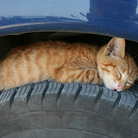 by Radomir Perin-Rasa - Animals - Cats Kittens