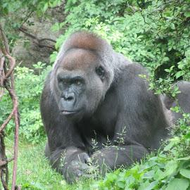 big daddy gorilla by Kathy Kirkpatrick - Animals Other ( gorilla zoo animal apes portrait,  )