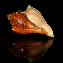 by Vijay Singh - Artistic Objects Still Life ( shell, artistic )