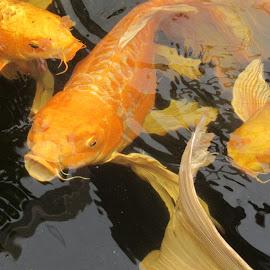 carps by Kathy Kirkpatrick - Animals Fish ( carp fish orange pond swim,  )
