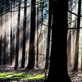 sunshine by Kim Mesorten - Landscapes Forests ( forest, sunlight, woods )