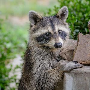 raccoonb.jpg