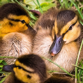 Ducklings by Dave Lipchen - Animals Birds ( ducklings )