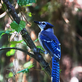 Feeling Blue by Alycia Marshall-Steen - Animals Birds ( bird, blue bird perched, blue brird, bird perched, jay, blue jay )