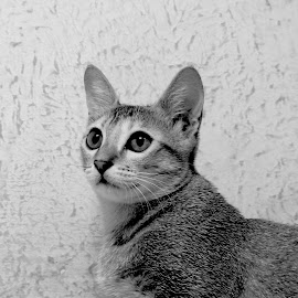 posing by Abhijit Roy - Animals - Cats Portraits ( cat face, cat, faces, cat eyes, cat portrait )
