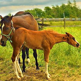 The closeness by Suzanne Blais - Animals Horses ( horses mother child animals )