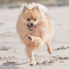 on the move with hugo  by Michael  M Sweeney - Animals - Dogs Running ( michael m sweeney, pomeranian )