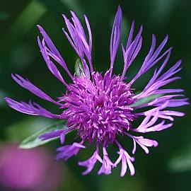 Knapweed by Chrissie Barrow - Flowers Flowers in the Wild ( stigma, wild, single, stamens, purple, petals, knapweed, bokeh, closeup, flower )