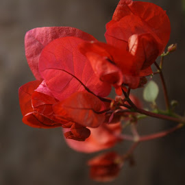 bougainvillea by Chetana Siddagangaiah - Nature Up Close Other plants ( #nature, #bougainvillea, #red, #ornamental vine, #flower )