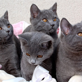 Chartreux kittens by Serge Ostrogradsky - Animals - Cats Kittens