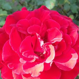 Red Antique Rose by Kathy Psencik - Instagram & Mobile Android ( rose, full bloom rose, red rose, bright red rose, antique red rose )