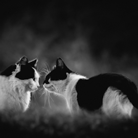 Find Your Counterpart by Julie Wooden - Animals - Cats Portraits ( cats, wildcats, animals, north dakota, b&w, nature, black and white, autumn, hebron, outside my back door, fall, outdoors, wildlife, stays, felines,  )