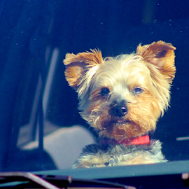 I am Curious by Leah Zisserson - Animals - Dogs Portraits ( curious, puppy, yorkie, traveling, window, dog, terrier,  )