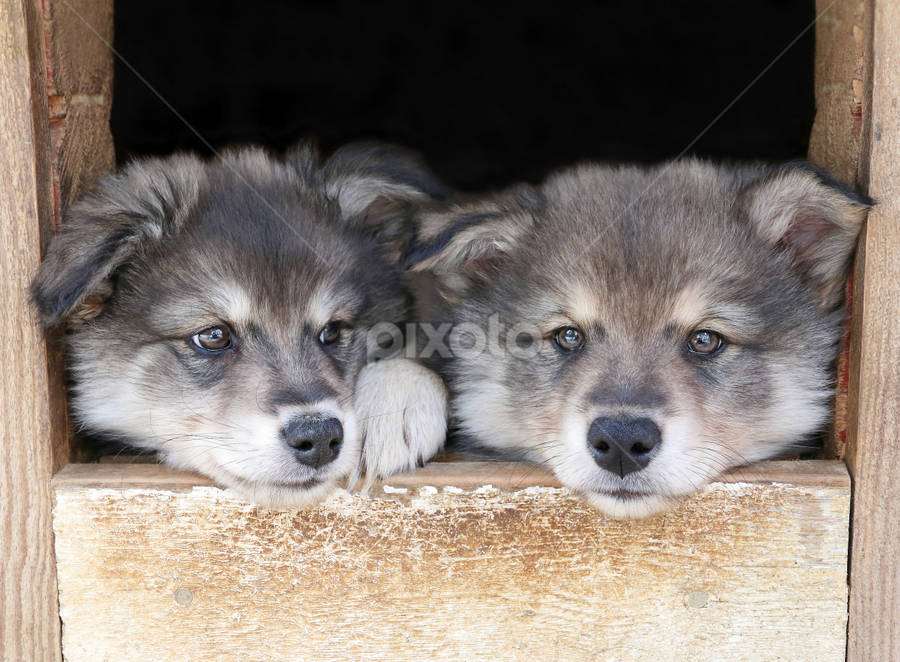 Together by Mia Ikonen - Animals - Dogs Puppies ( finnish lapphund, finland, cute, siblings, den,  )