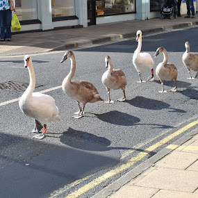 Swans in York by Lily Fletcher - Animals Birds
