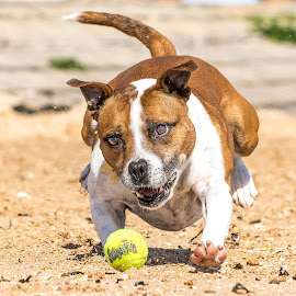 Dogs On The Beach by Adrian Miller - Animals - Dogs Playing ( play, beach, dog, running, dogd )