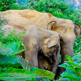 Elephant Family by Lasitha Senanayake - Animals Other Mammals ( elephant  family, nature, elephant )