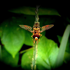 Hoverfly by Aarti Chaudhary - Animals Other