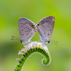When i'm with you by Anitava Roy - Animals Insects & Spiders ( love, two, butterfly, macro, nature, butterflies, wildlife, nature close up, couple, mating,  )
