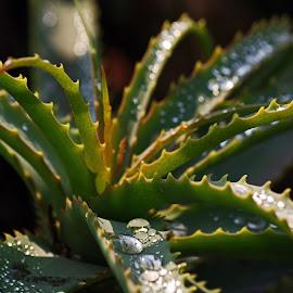 Aloe in the morning sunshine after the rain. by Ingrid Anderson-Riley - Nature Up Close Other plants