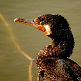 duck by Yahia  husain - Animals Birds ( animals, wildlife, stunning, animal )