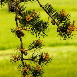 New growth by Glenda Clausen - Nature Up Close Trees & Bushes ( greens, nature, buds, pine, cones )